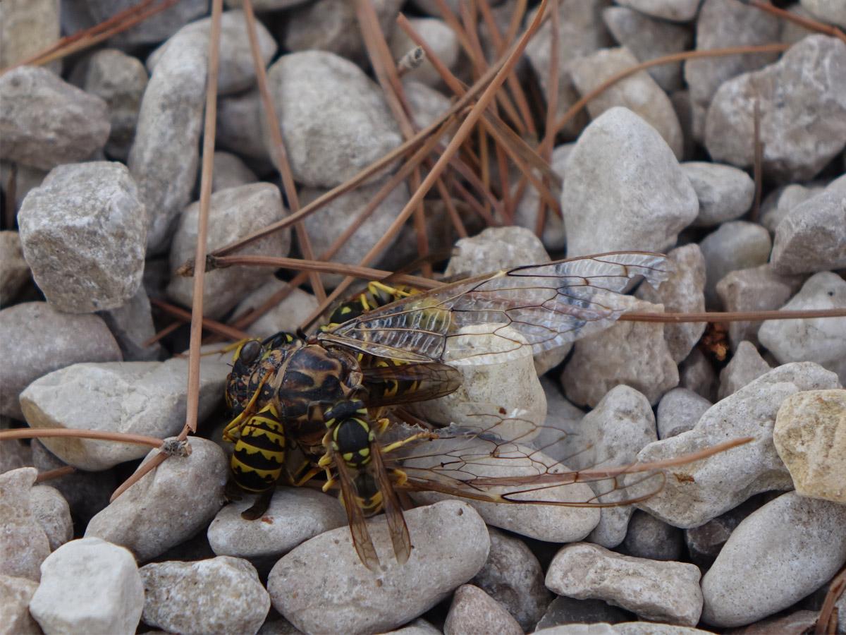 Feldwespen zerlegen eine Zikade